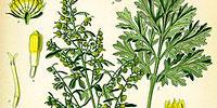 Полынь горькая (Artemisia absinthium)